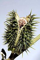Thorn apple Datura stramonium seed pod split open to reveal the seeds inside. This plant is a member of the nightshade family. It contains poisonous a...