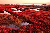 Common Glasswort