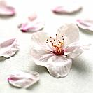 Cherry flowers on white background, close up