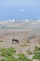 horse in wild field, Santorini, Cyclades Islands, Cyclades Prefecture, Greece, Europe