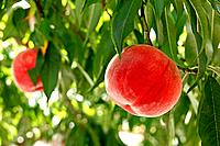 Ripe Peaches Hanging From Tree