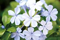 Leadwort or Plumbago