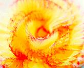 Close_up of yellow and red flower