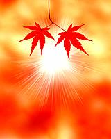 Japanese maple leaves and sunbeam