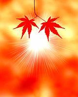 Japanese maple leaves and sunbeam