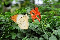Great Orange Tip  Hebomoia glaucippe on flower, Hyogo Prefecture, Honshu, Japan