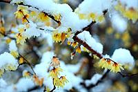 Wintersweet in Snow