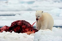 Polar bear feeding on narwhal carcass on icepack Ursus maritimus Floe edge, Arctic Bay, Baffin Island, Nunavut, Canada