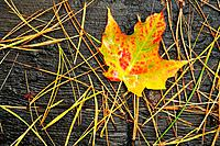 A Lone Multicolored Maple Leaf with Pine Needles in Autumn