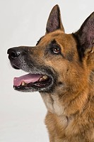 Close_up of a German Shepherd dog