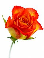 Orange_colored rose on white background