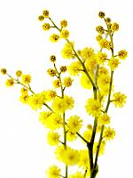 Twig with yellow flowers on white background