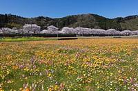 Matsuzaki, wildflower, cherry blossoms, flower, Matsuzaki, Nishiizu, Nishi Izu, West Izu, Izu peninsula, Shizuoka, Tokai, Japan