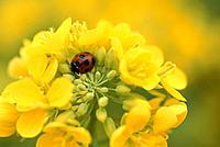 Rape Blossoms And A Ladybug