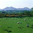 Sheep grazing in front of the Blue Stack Mountains. Shrubs and plants.