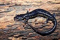 Slimy Salamander Plethodon glutinosus