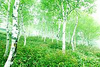 White birch woods, Utsukushigahara, Nagano Prefecture, Japan