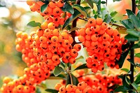 also called burning bush bushy plant persistent and thorny family Rosaceae