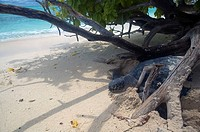 Green turtle Chelonia mydas that has trapped itself between logs on the beach while looking for a place to nest, North West Island, Capricorn Bunker G...