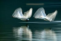 Two Swans Taking Off