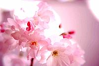 Close Up Image of Cherry Blossom