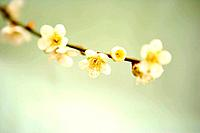 Plum flowers on branch, close up, Kyoto prefecture, Japan