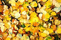 Autumn fallen down leaves of red and yellow color