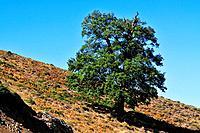 Downy Oak, Quercus pubescens, Gennargentu massif, Sardinia, Italy / Flaumeiche, Quercus pubescens, Gennargentu_Massiv, Sardinien, Italien