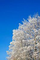 Birches 10