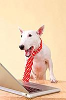 Miniature Bull Terrier looking at laptop, colored background