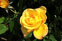 Close_up of yellow rose, Hyogo Prefecture, Honshu, Japan