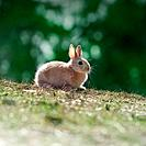 Netherland Dwarf Rabbit on grass
