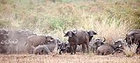 Water buffalo wildlife in Kenya