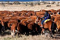 Gaucho on horseback, with dogs, herdng cattle near Chile_Argentinian border, Southern Chile, Patagonia