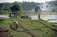 Traditional farming. Rice terraced paddies. Water. Mud partitions. Dry fields with crops. Woman/ men working.