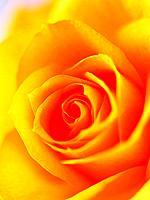 Close up of single rose