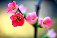 Japanese Quince Blossoms