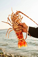 Greece, Cyclades Islands, Mykonos, Hand holding lobster by sea