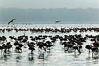 Greater Flamingoes, Phoenicopterus ruber, in Lake Nakuru, Kenya.