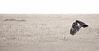 An eagle flying across the plains in Solio, Kenya.