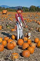 This vertical autumn season stock photo shows a scarecrow with a hat, in a fall pumpkin patch on a clear sunny day