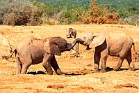 African Elephant playing with their trunks