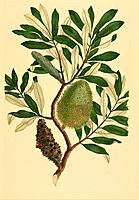 Coast banksia Banksia integrifolia, artwork. Watercolour by Sydney Parkinson made during Captain James Cook´s first voyage across the Pacific 1768_177...