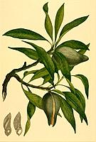 Woody pear Xylomelum pyriforme, artwork. Watercolour by John Frederick Miller from an original outline drawing by Sydney Parkinson made during Captain...