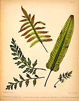 Fern fronds, artwork. From left to right are Asplenium canariense, the common polyplody Polypodium vulgare, Scolopendrium officinarum and Cheilanthes ...