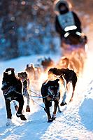 Dogsled team nearing Two Harbors checkpoint in the sled dog marathon. Sled dog marathon is a 4 day 370+ mile race along the North Shore of Lake Superi...