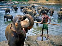 Elephant orphanage sanctuary. River. Daily bath. Animals standing in water. One with trunk raised. GALLO