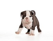 English Bulldog _ puppy _ walking