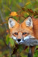 Red Fox. Adult.Vulpes vulpesOrdre CarnivoraFamille Canidae