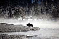 With temperature below 10C, this bison Bison bison is staying near the hot springs.